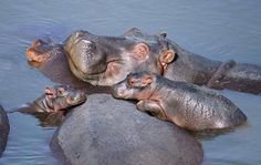 Hippo Family says you mess with our family & your done for
