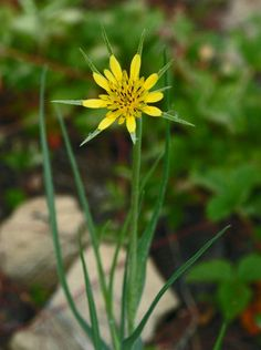 Yellow Salsify (Tragopogon dubious) Sunflower Family  (Asteracaea)