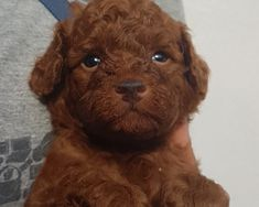 Brescia: BARBONCINI ROSSI MASCHI CON PEDIGREE ENCI: #vendita #cuccioli #barboncino #brescia Vai all'annuncio: Mini Poodles, Wildlife, Anna, Teddy Bear, Puppies, Pretty, Animals, Poodle Puppies, Cubs