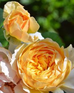 'Golden Celebration' | Shrub. English Rose Collection. Austin 1992 | Flickr - © Ingrid Van Streepen