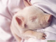 teacup pigs are so cute! Baby Pigs, Pet Pigs, Baby Animals, Cute Animals, Cute Piglets, Teacup Pigs, Mini Pigs, Little Pigs, Animals Beautiful