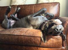 I'm sleeping my day away  #gandalf #tiredlittledoggy #mydanebaby #bluedanepuppy #eurodanes #danelover #danesofinstagram #greatdane #gotland by gandalf_the_great_dane