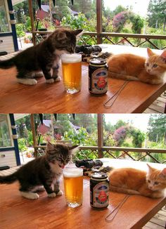 Kitten's First Beer - OMG this is funny. The face, reminds me of letting your kid take their first sip.