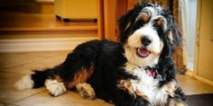 "Have you ever heard of a ""bernedoodle?"" It's a Bernese Mountain Dog mixed with a Poodle! We're in love."