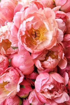 Hands-down the biggest show-stopper growing at our flower farm in Philadelphia, Coral Charm peonies are utterly fascinating to behold. They bloom sharp coral but fade to a buttery yellow as they age i Coral Charm Peony, Coral Peonies, Peonies Bouquet, White Peonies, Fresh Flowers, Pink Flowers, Beautiful Flowers, Pink Roses, Exotic Flowers