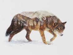 Poster   ARCTIC WOLF von Andreas Lie
