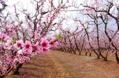 Every year the stunning peach blossoms make their debut and Lane Southern Orchards marks the occasion with a festival. If you've never seen a peach blossom in person, then you won't want to miss this. Peach Flowers, Peach Blossoms, Fort Valley, Blossom Garden, Growing Flowers, Flower Photos, Weekend Getaways, Beautiful Birds, Flowers