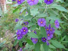 Bittersüßer Nachtschatten, Solanum   ducamara, Pflanze ab 2,37