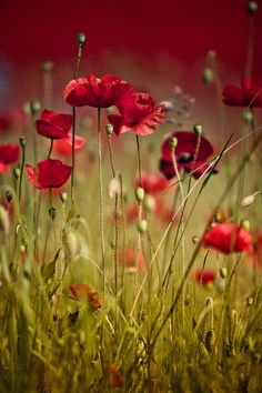 New Beautiful Nature Photography Flowers Red Poppies Ideas Amazing Flowers, Wild Flowers, Beautiful Flowers, Poppy Flowers, Nature Photography Flowers, Poppy Photography, Summer Plants, Red Poppies, Flower Power
