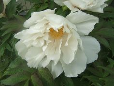tips for growing great peonies, flowers, gardening, White Tree Peony