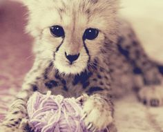 cheetah cub - would definitely take one of four of these as birthday presents. fucking precious!!! .c.