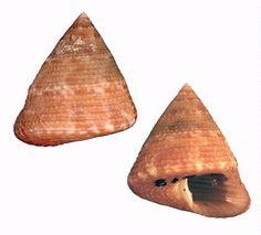 Family Calliostomatidae Calliostoma tampaense (Conrad, 1846)  Tampa Bay top snail - 20 mm