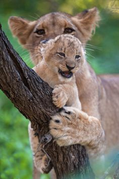 Lioness Lends A Helping Hand To Her Young Cub. (Photo By: Rudi Hulshof on 500px.)