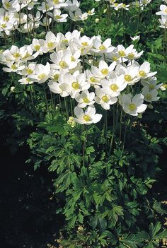 Anemone sylvestris, Perennial   Benary