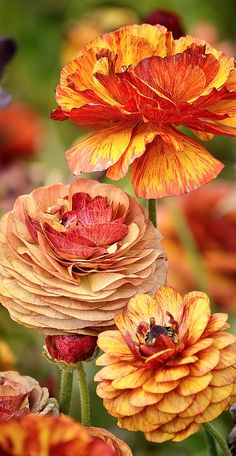 Ranunculus in beautiful fall colors....