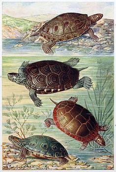 American water turtles, Joseph Fleischmann, from Brehms Tierleben (Brehm's animal life) vol. 1, Vienna, 1920