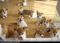 Cute freakin' corgi puppies!