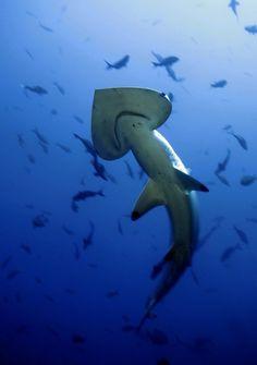 shark photography by Matt McGee underwater photographer Underwater Creatures, Underwater Life, Ocean Creatures, Orcas, Types Of Sharks, Underwater Photographer, Hammerhead Shark, Life Aquatic, Mundo Animal