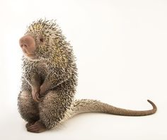photo by @joelsartore   Check out this bashful Andean porcupine from the @stlzoo. Porcupines are good climbers and they like to eat bark (look at those teeth!) so they spend a lot of time in trees. And contrary to popular belief they cannot shoot their quills at predators. The quills just stand up when a porcupine feels threatened. #Follow me @joelsartore to see more of my recent work. #PhotoArk #joelsartore #photooftheday by natgeo