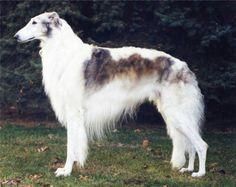 Borzoi ( Russia ) Size: tall and elegant Dog : 29 inch(minimum) 41 kg  27 inch 34 kg Grooming : regular and thorough Exercise : moderate Feeding : not excessive Temperament : requires understanding The borzoi,as befits a hound from russia that was dedicated to hunting wolves,is tall,aristocratic in bearing,and possesses a pair of impressive jaws.