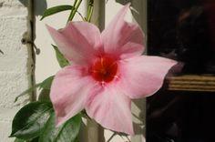 heerlijk om nog in Oktober bloemen te hebben die uitkomen. great to have in October to have true flowers