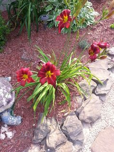 Day lilies - we have 8 of these total.  4 on each side of house.