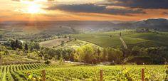 Vingård i Toscanas böljande landskap