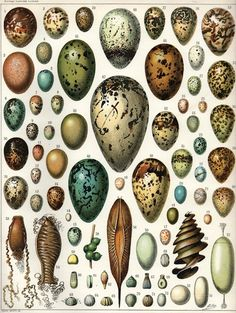 Hypotheses of Bird Egg Coloration by wired.com include not only camouflage, but how pigmentation which varies not only among species, but according to weather and displays differences at the two ends of each egg, may filter and modulate ambient light calibrating circadian rhythms and timing hatching. Image: Adolph Millot/Wikimedia Commons #Science #Egg_Coloration