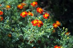 Self-Seeded Red Gem Marigolds in my Late Autumn Garden by Anne Butera of My Giant Strawberry