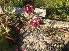 Rosas matizadas