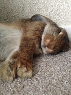 My bun is pregnant and all she wants is to sleep... very cutely. - Imgur