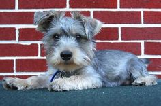 The Schnauzer Yorkie mix (also known as the Schnerrier, Schnorkie, Shnorkie, Snorkie) is not a purebred dog. It is a cross between the Yorkshire Terrier and the Schnauzer. Pitbull Terrier, Terrier Puppies, Terrier Mix, Schnauzer Mix, Miniature Schnauzer, Schnauzers, Cute Puppies, Cute Dogs, Dogs And Puppies