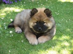 12 Best Eurasier Dogs Images Doggies Dogs Dog Cat