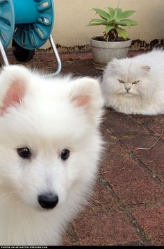 Japanese Spitz.. (ignore the cheezed off cat haha)