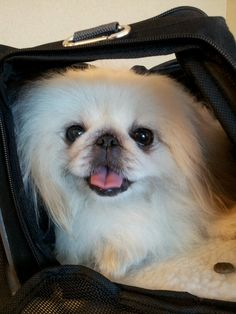 "Click visit site and Check out Cool ""Pekingeses"" T-shirts. This website is excellent. Tip: You can search ""your name"" or ""your favorite shirts"" at search bar on the top. Yorkies, Pekingese Puppies, Fu Dog, Dog Pee, Cute Puppies, Cute Dogs, Animals And Pets, Cute Animals, Best Dog Training"