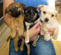 These puppies are available to adopt in the #SanFrancisco area from Wonder Dog Rescue!