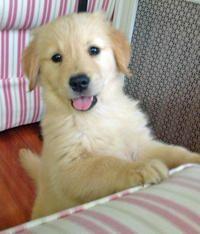 Paisley the Golden Retriever puppy - sweet