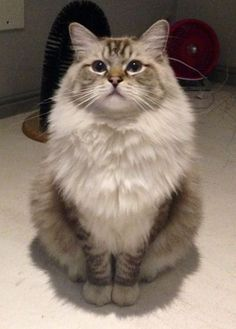 What a fluffy cat this is! What a fluffy cat this is! Cute Cats And Kittens, I Love Cats, Crazy Cats, Kittens Cutest, Cool Cats, Baby Animals, Funny Animals, Cute Animals, Photo Chat
