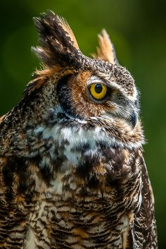 Great Horned Owl of Prey Owl Photos, Owl Pictures, Birds In The Sky, Power Animal, Great Horned Owl, Beautiful Owl, Tier Fotos, Birds Of Prey, Pet Birds