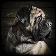 Remco Zwart Biek Old English Mastiff called Lambiek, shot with 100x70 softbox and hotshoe flash