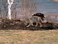 Coyote friend....