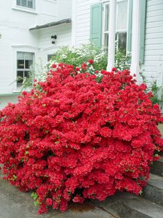 potted azalea - Google Search
