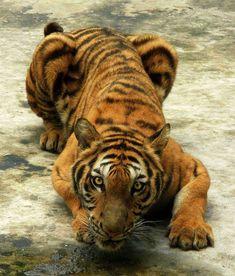 Tiger 01 by *derSheltie on deviantART