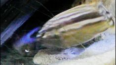 Cichlid Fish vs Blue Crayfish Cichlid Fish vs Blue Crayfish shows how the fish tries to chase out the blue cry fish out of the cave. Its funny fight between . Cichlid Fish, Cichlids, Freshwater Lobster, Funny Fights, Prawn Shrimp, Youtube, Youtubers, Youtube Movies