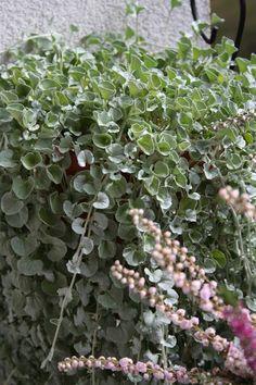 Dichondra srebrzysta Fruit, Plants, Flora, Plant