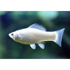 Silver Molly Fish