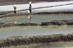 Girls in Rice Field, Timor-Leste | Flickr - Photo Sharing!
