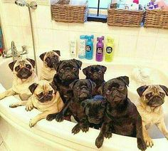 """We're ready for our bath now.""  🌟 www.jointhepugs.com 🌟  #PugPower #PugLife #PugsofInstagram"