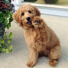 Remembers the precise height of robbers.  This is why golden doodle will be my…