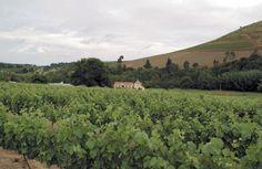 Morgenhof Vineyards